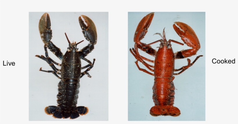 Lobster Colour Are Lobsters Before They Are Cooked Png Image Transparent Png Free Download On Seekpng