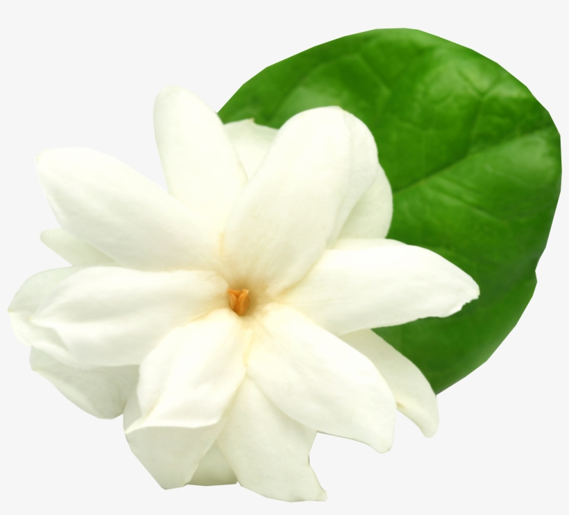 Thai Jasmine Flower Choice Image Mogra Flower With White