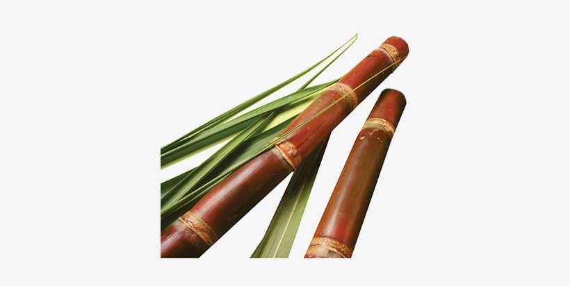 Sugar Cane - Sugarcane Png@seekpng.com