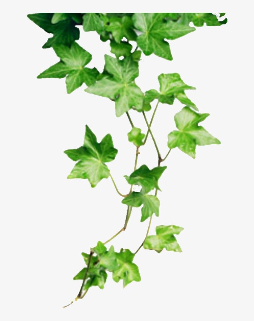 Ivy Png - Ivy Plant@seekpng.com