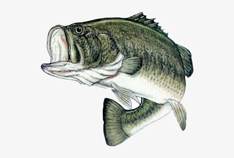 Download Bass Fishing Png Bass Fish Png Png Image Transparent Png Free Download On Seekpng