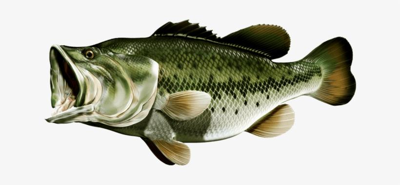 Largemouth Bass - Bass Fishing@seekpng.com