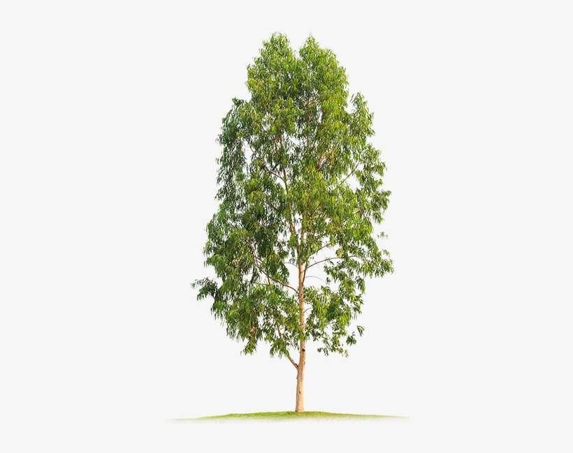 Eucalyptus Big Neem Tree Clip Art Png Image Transparent Png Free