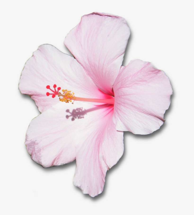 Flower With Shadow By White And Pink Hibiscus Flower Png Image
