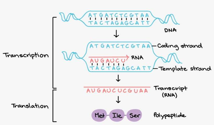 Transcription Uses One Of The Two Exposed Dna Strands Template