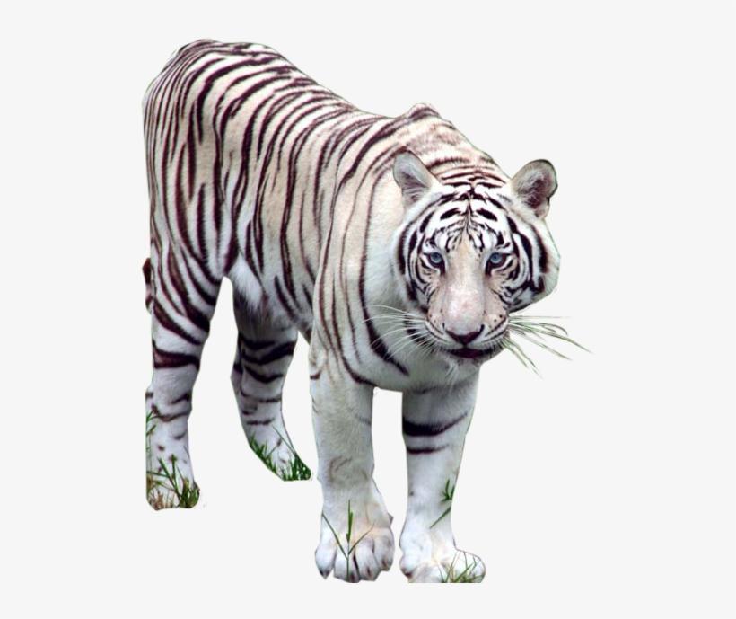 тигр фото на прозрачном фоне фотографом