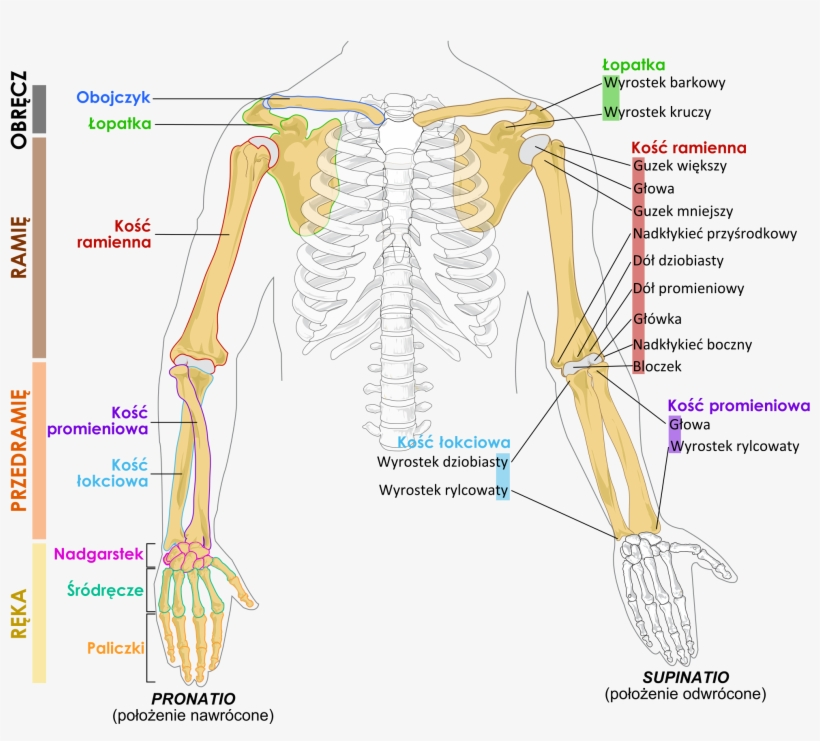 Human Arm Bones Diagram Pl Arm Bones Diagram Png Image