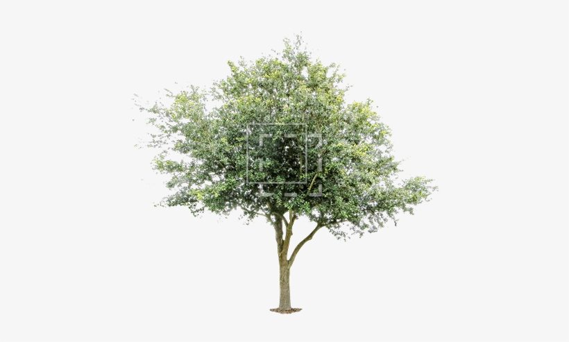 Young Oak Tree - Free Image Of Tree PNG Image | Transparent