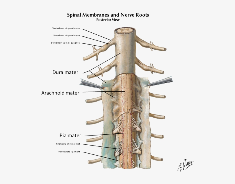 Spinal Cord Meninges 3 Denticulate Ligaments And Filum Terminale Png Image Transparent Png Free Download On Seekpng The filum terminale helps to anchor the spinal cord in place. spinal cord meninges 3 denticulate