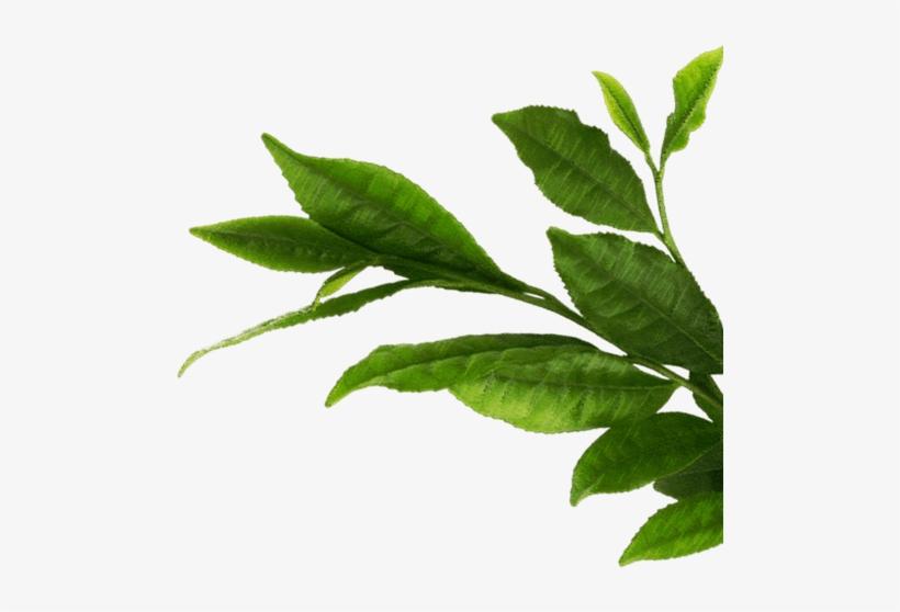 Teapot Green Tea Leaf Macha Bowl Png Images Leaf Png Image Transparent Png Free Download On Seekpng