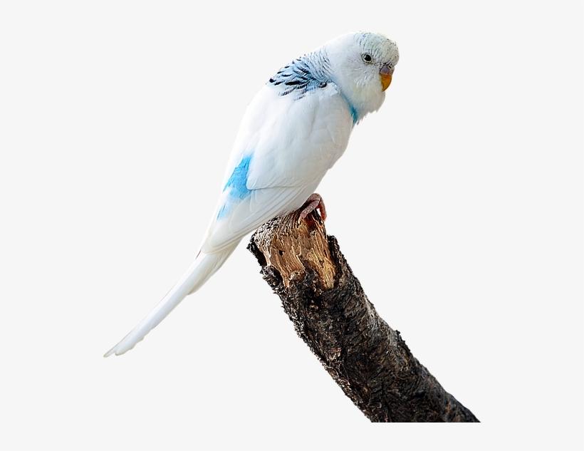 Budgie Clipart Transparent - Budgie Parrot PNG Image