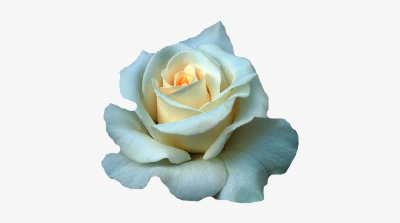 Rose Beautiful White Rose Flowers Png Image Transparent Png Free