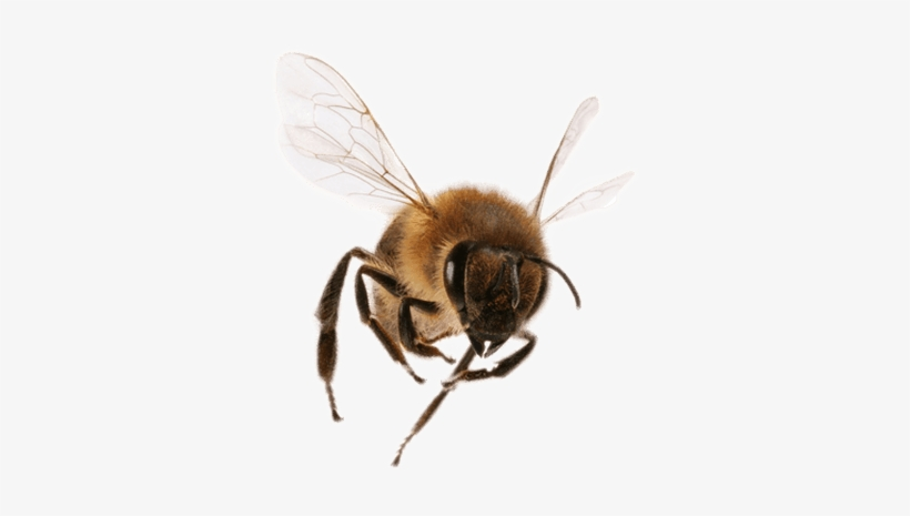 Bee Png Image Bee Flying Png Image Transparent Png Free Download On Seekpng Honey bee honey bee food sweetness, honey png. bee png image bee flying png image