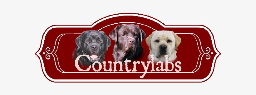 Yellow Lab, Chocolate Lab, Black Lab, Fox Red Lab Puppies - Labrador