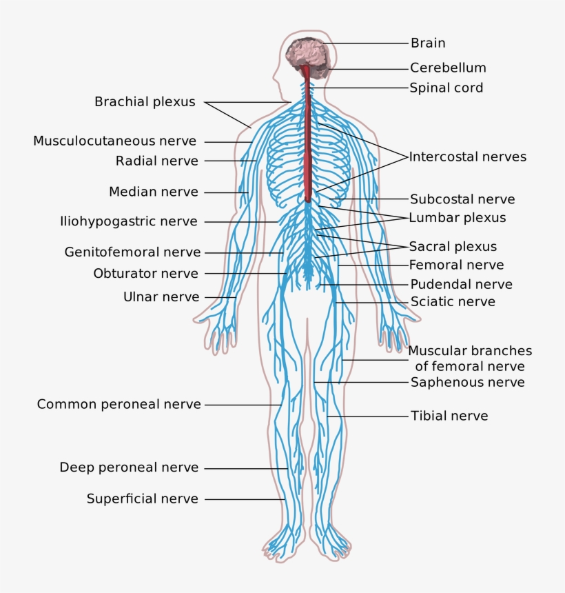 The Peripheral Nervous System Is The Part Of The Nervous