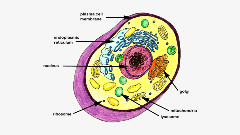 Diagram Of A Plant Cell 7th Grade - Aflam-Neeeak