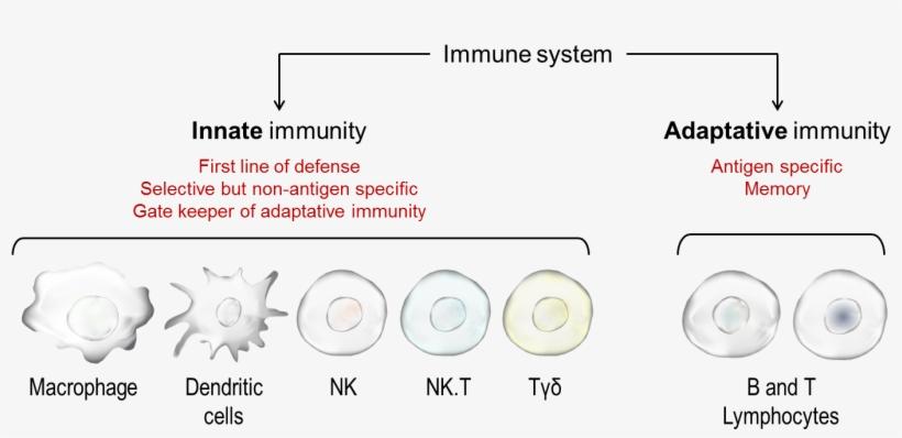Immunity Concept Map.Immunesystem2 Concept Map Innate Immunity Png Image Transparent