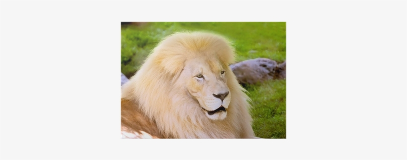 Masai Lion. Masai Lion, transparent png download