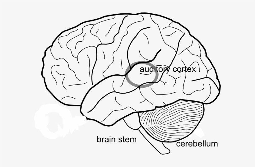 Simple Diagram Of Human Brain With Labels