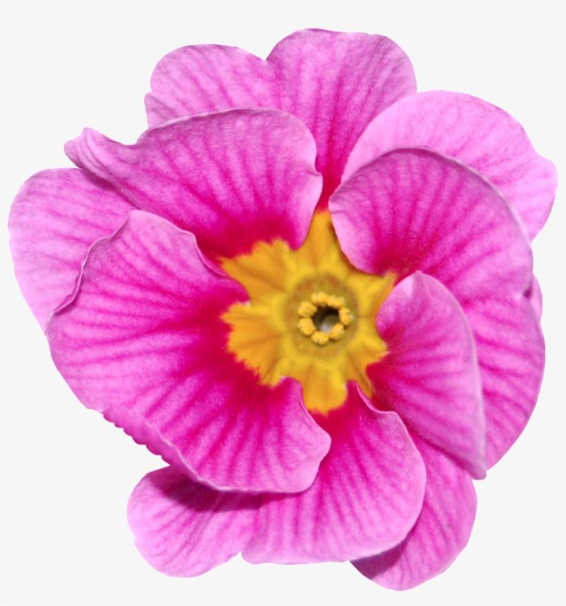 Flores De Color Rosa Roja Png Transparente Portable Network