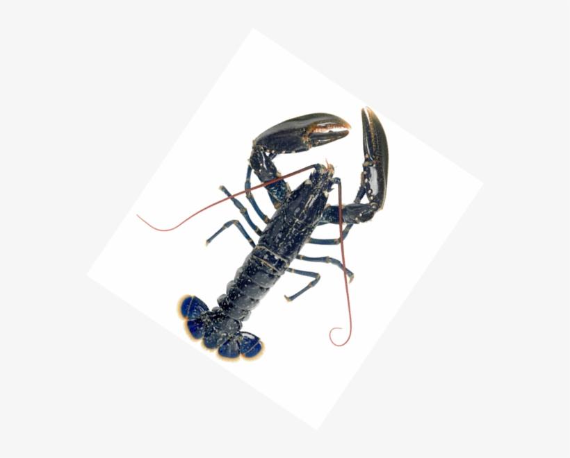 Frozen Whole Blue European Lobster Live European Blue Lobster Png Image Transparent Png Free Download On Seekpng