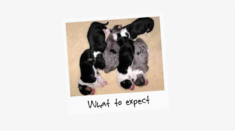 5 Newborn Puppies Sleeping On The Floor With Title - Australian
