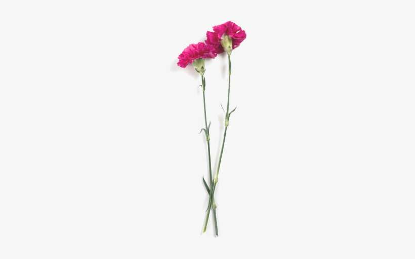 Carnations Carnation Png Image Transparent Png Free