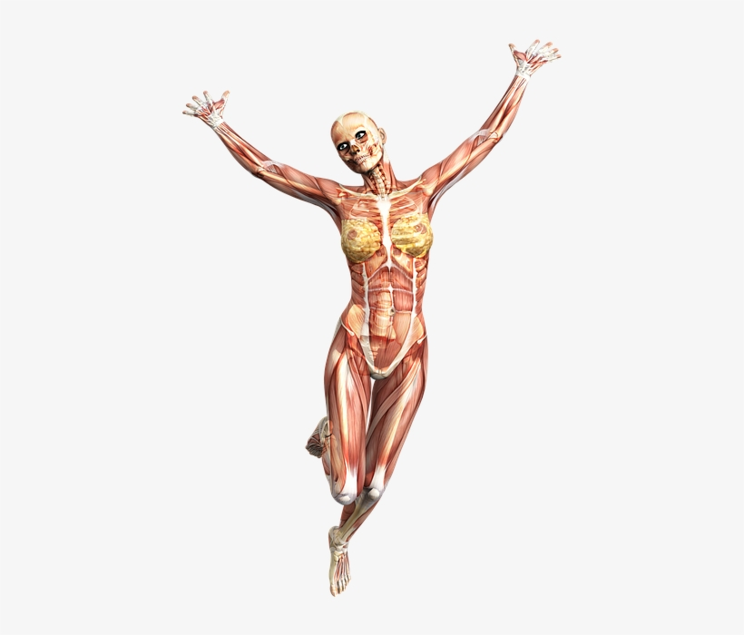 Anatomy Female Muscles Skeleton Tissue Muscle Skeleton Png