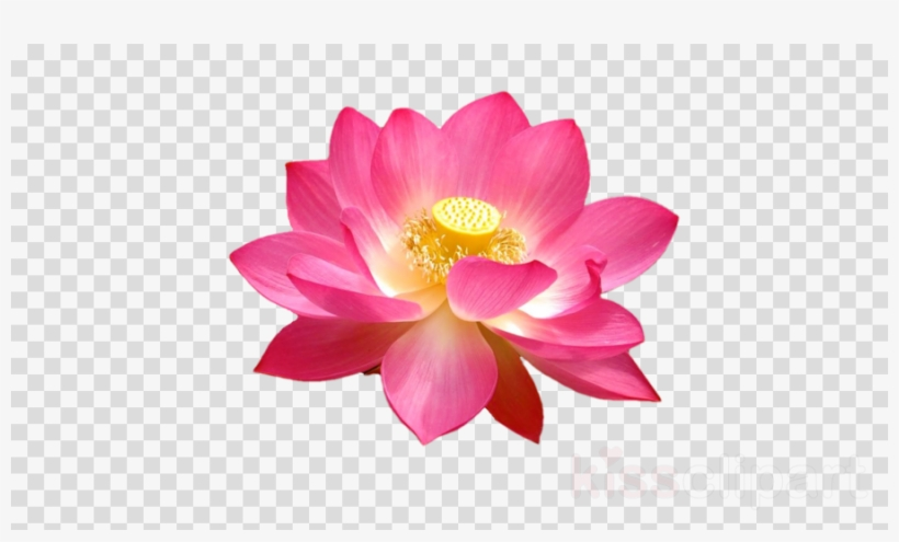 Lotus Top View Png Clipart Sacred Lotus Yellow Lotus Lotus Flower