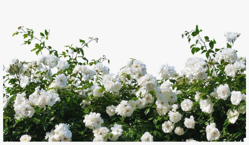 White Roses - White Rose Bush Png PNG Image | Transparent