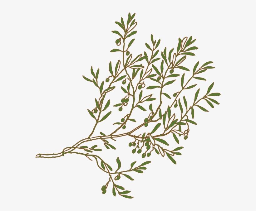 Olive Branch Clip Art At Clker Olive Tree Branch Png Png Image