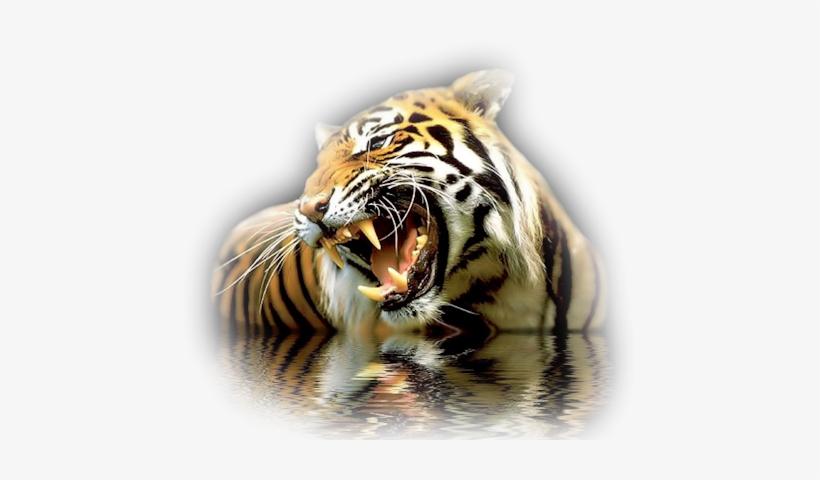Tiger Wades Cool 3d Images Of Tiger Png Image Transparent Png
