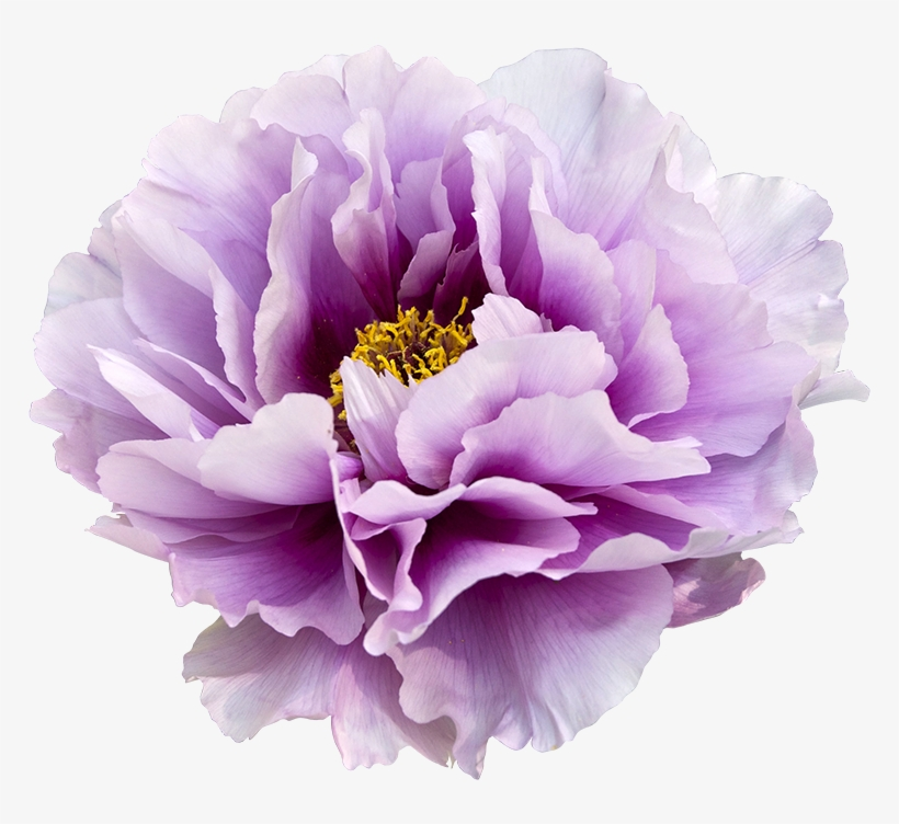 Purple Flower Clipart No Background: Watercolor Floral Clipart Peony Arrows