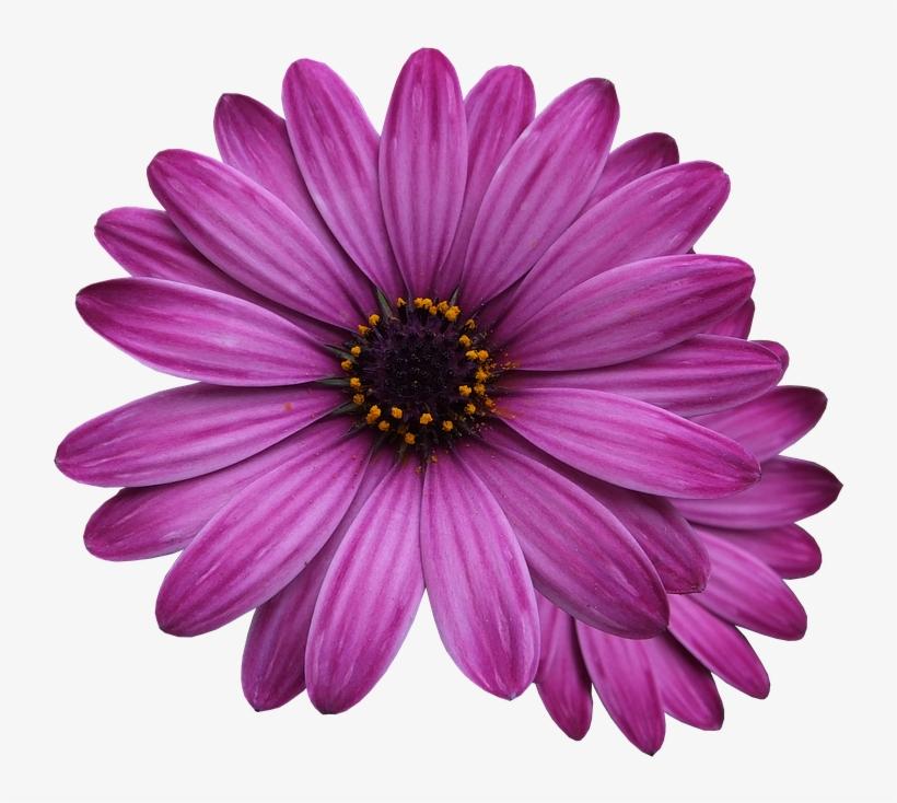 Flower Marigolds Purple Flower Flowers Png Single Flower