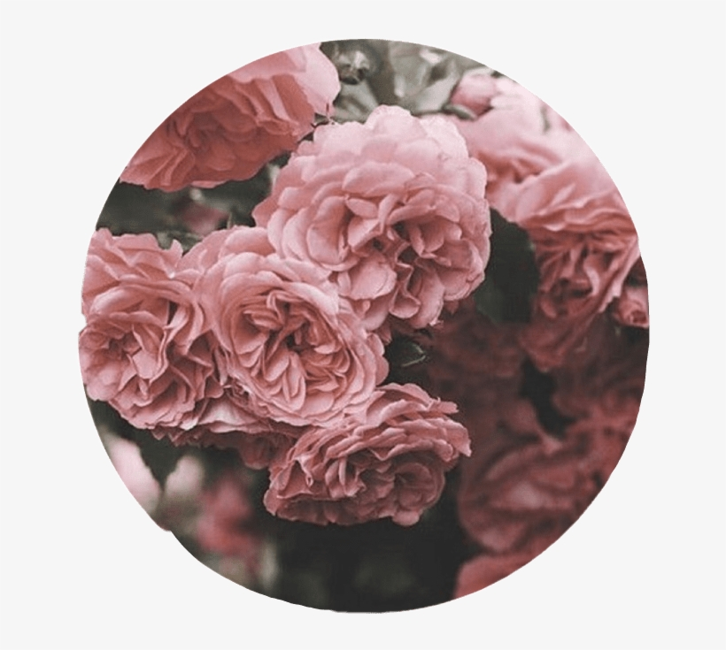 Aesthetic Roses Tumblr Overlay Circle Cute Pink Interes Dusty Rose