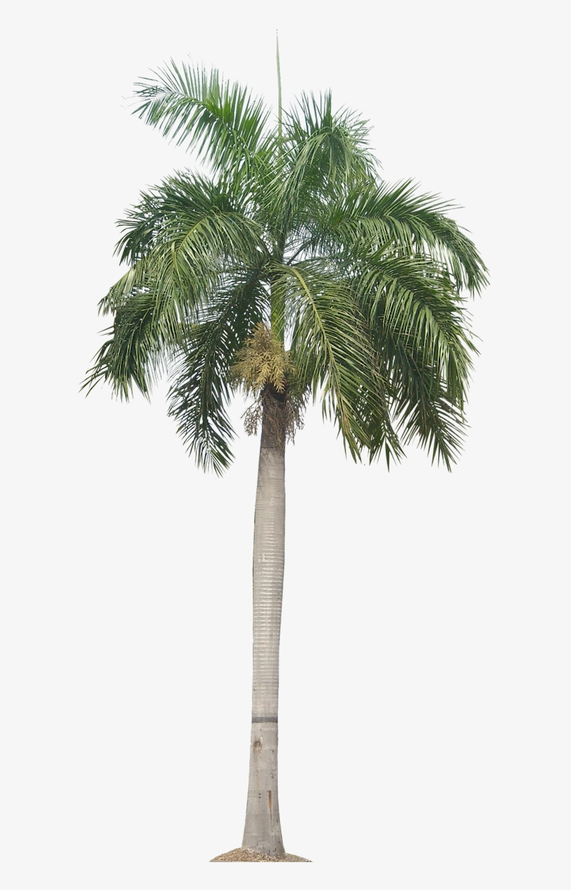 Real Palm Tree Png Download - Transparent Background Palm