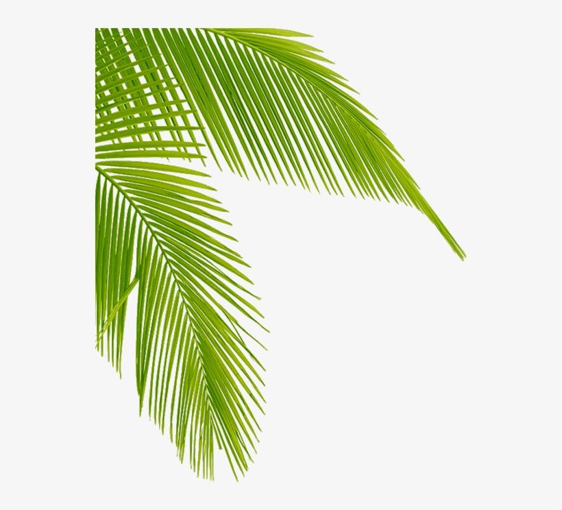 Download Transparent Palm Tree Leaves Png Clipart Leaf