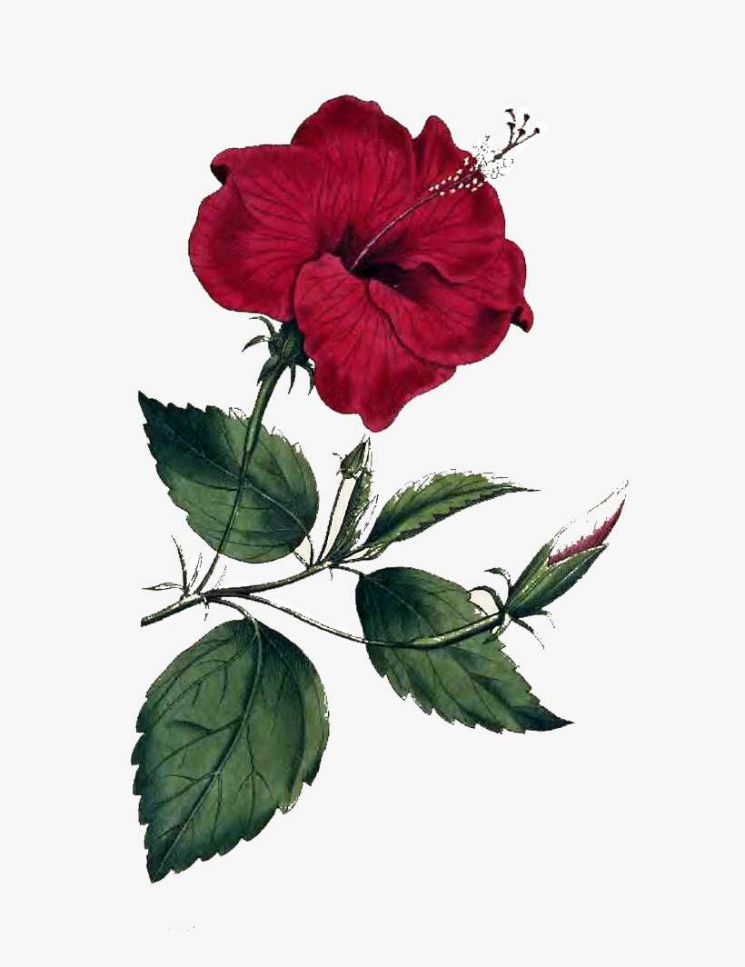 Flower Png Image Hibiscus Rosa Sinensis Drawing Png Image