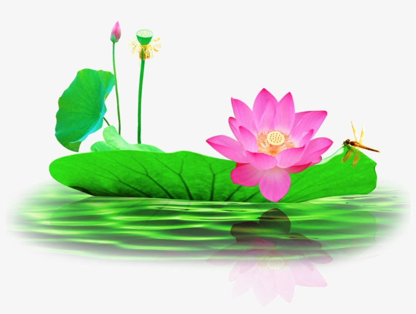 Picture Free Nelumbo Nucifera Pond Lotus Transprent Lotus Flower