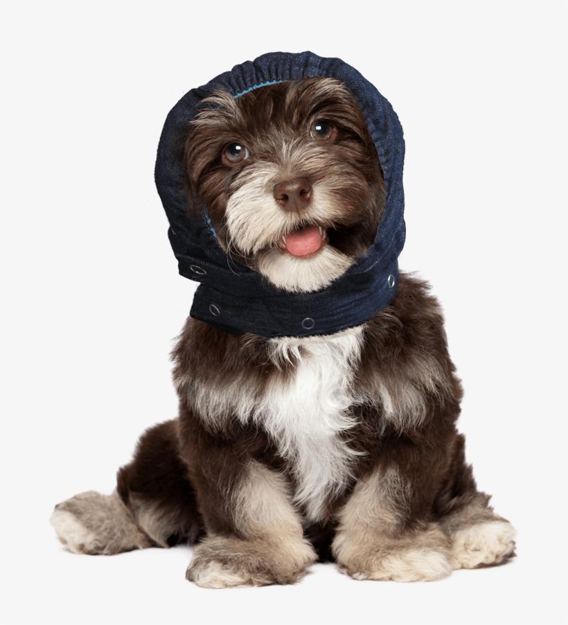 Portfolio - Bichon Frise Puppy Faces PNG Image | Transparent