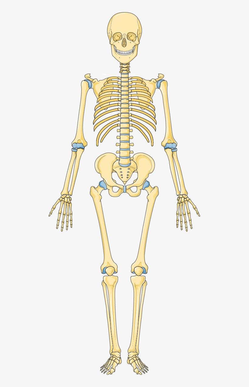 Анатомия скелета человека в картинках, девочке лет днем
