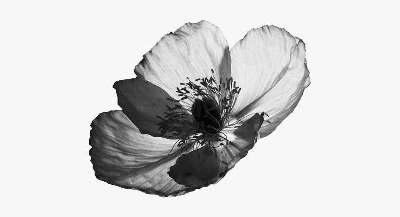 Flowers Transparent Tumblr Black And White Download Mohnblume