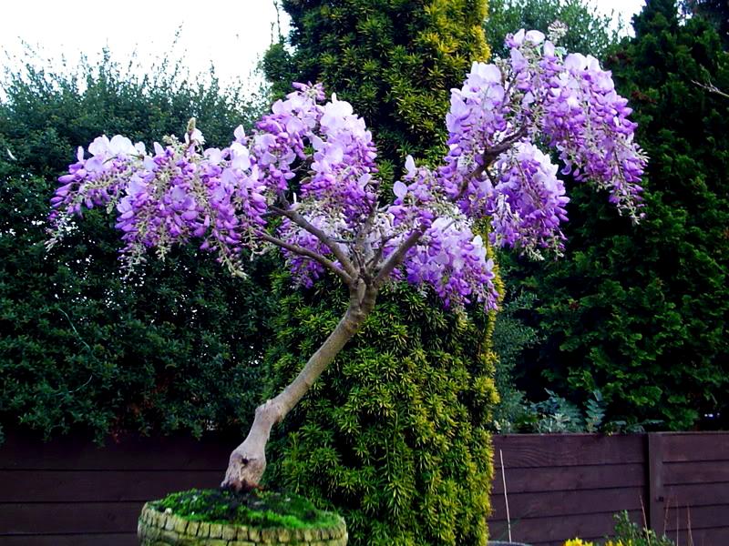 132-1321272_wild-things-grow-wisteria-sinensis-bonsai.png (800×600)