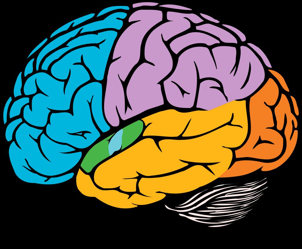 Мозг картинки пнг