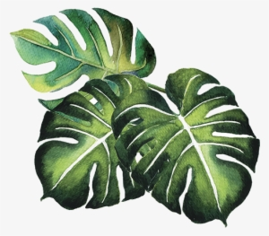 Tropical Plant Leaves Clipart Swiss Cheese Plant Tropics