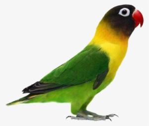 Gambar Burung Love Bird Agapornis Verdes Png Image Transparent