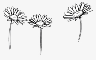 500 X 500 Png 214kb Thoughts Untold Daisy Png Tumblr Daisy Flower